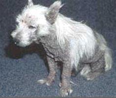 Yogurt for dogs with dermatitis