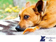 LA MEJOR CLÍNICA VETERINARIA DE MÉXICO. La insuficiencia cardíaca congestiva sucede cuando el corazón del animal no puede proveer suficiente sangre al cuerpo y esto da lugar a una acumulación de líquido en el cuerpo. En Clínica Veterinaria del Bosque contamos con médicos veterinarios expertos para diagnosticar y tratar a tu mascota. Te invitamos a visitar nuestra página web www.veterinariadelbosque.com, para conocer todos nuestros servicios. #veterinariadelbosque