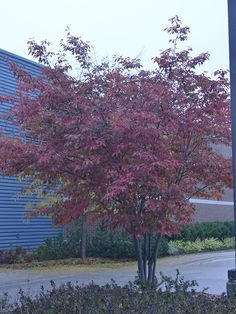 A mature plant in autumn cloak at the Gardens of Fanshawe College, London, Ontario.