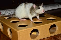 rat maze out of a cat toy