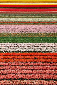 Tulip fields, Keukenhof, Netherlands--- cant wait to go here this summer!!! :)