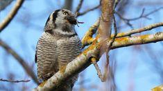 Hawk #owl having a lunch