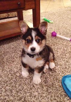 Mini Aussie Corgi Love my sweet pup!