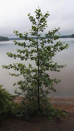 #järvi #puu #lake #tree #Finland