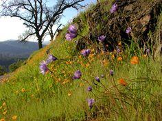 Sierra flowers in spring