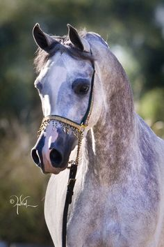Angelina Showlee (US) 2005 Grey Arabian mare. Showkayce {Fame VF x Kay by Kaiyoum} x SC Zimpatique {Shah Azim x SC Eulipia by Gdansk} Owned and bred by Day Dream Arabians, USA. A mix of mostly Polish (*Bask++ and *Eukaliptus ) with two crosses with Crabbet blood and a line to Egyptian.