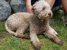 Lagotto Romagnolo - Italian sporting dog