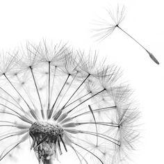 Scanography Fine Art Flower Print Black on White Dandelion Drawing, Dandelion Weed, Flower Prints, Vivid Colors, Art Drawings, Inktober, Sketches, Illustrations, Fine Art