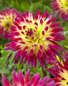 "Picked up some ""Tahitian Sunset"" dahlia bulbs to add to my front flower beds!!!"