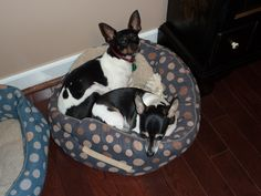 Minnie and Mickey my favorite Rat Terriers!!