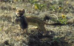 Greenland Lemmings' Collapse Pushes Predators to Brink Arctic Tundra, Predator, Fox, Creatures, Cute, Happy, Animaux, Animales, Kawaii
