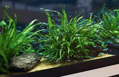 The low-tech planted aquarium. Plain gravel/sand: insert fert tablets/capsules around plants. Give several months' supply of nutrients. Best: Complete substrate topped with plain gravel/sand. Low light plants: Cryptocoryne, Anubias, mosses, Java ferns, Hygrophila polysperma, Limnophila sessiflora.   Best low maint. plants: rosette species: Cryptocoryne, Vallisneria, Aponogeton and Echinodorus, Java fern, Bolbitis, Anubias.