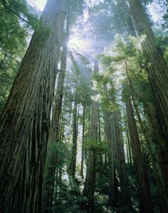 Redwood National Forest, California.