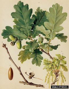 Quercus robur Skogsek English oak, Quercus robur (Fagales: Fagaceae) - 1379021