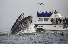 Thar She Blows! The Essential California Whale-Watching Guide