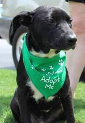 Truly is an adoptable Labrador Retriever Dog in Alpharetta, GA. Truly was found with Hobbs, two black lab mixes that we called the Buzzard Babies...because the person that found them saw buzzards flyi...