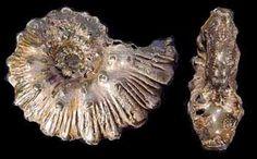 Kosmoceras duncani 5,5 cm pyrite Callovien (433×268)