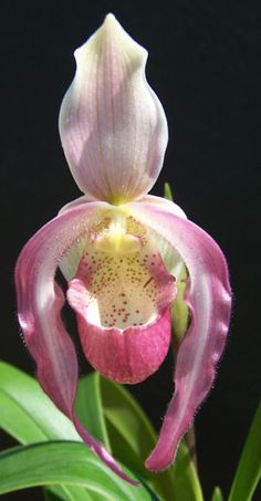 Shade Garden Flowers And Decor Ideas Orchid - Phragmipedium Acker's Charm