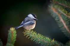 Attract Birds with Dwarf Conifers:  Attract more birds to your backyard with these top choices of dwarf conifers. birdsandblooms.com