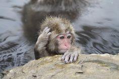 Jigokudani monkey park in Nagano, Japan.
