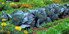As flores podem e devem fazer parte de uma horta biológica pois trazem muitos benefícios práticos para as culturas. Veja alguns exmplos.