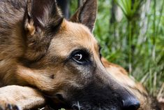 German Shepherd by Holly E. Clark on Flickr  http://www.flickr.com/photos/46922592@N00/4797749837/in/pool-28703291@N00/?reg=1&src=contact