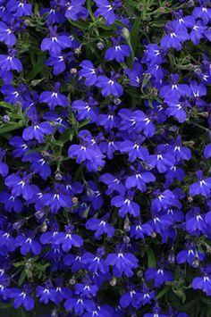 30 x LOBELIA CRYSTAL PALACE   MINI  PLUG PLANTS FREE POSTAGE READY MID FEB