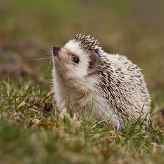 Hedgehogs For Adoption | More Options