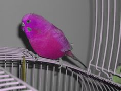 Purple Budgie | ... got a truly purple budgie i was bored that day you can tell cant you