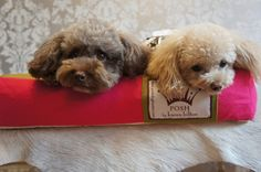 Belle and Snowy on their Karen Hilton-designed Posh union jack dog bed
