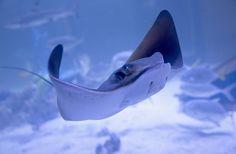 animals Underwater Sand Stingray Wallpapers HD Desktop and