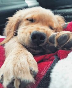 The Versatile Golden Retriever - Champion Dogs Cute Dogs And Puppies, Baby Dogs, I Love Dogs, Doggies, Puppies Puppies, Cute Funny Animals, Cute Baby Animals, Funniest Animals, Tier Fotos