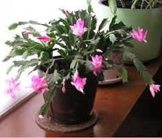 christmas cactus how to grow and roots on pinterest. Black Bedroom Furniture Sets. Home Design Ideas