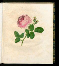 Die hundertblätterige Rose. Rosa centifolia.