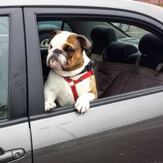 Wrigley the bulldog going for a ride