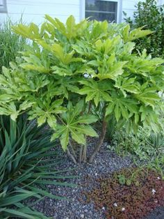 Fatsia japonica - must get another one of these!