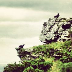 Goats at The Valley of the Rocks, North Devon.