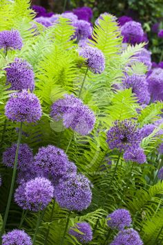 A brilliant ostrich fern which grows in shady, damp areas, and looks especially good planted with alliums.