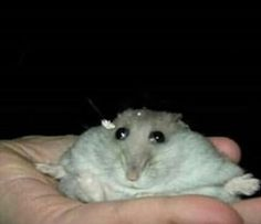 Me at three am when my dad catches me getting the Ben and Jerry's Cherry Garcia ice cream Cute Little Animals, Cute Funny Animals, Funny Animal Pictures, Cute Rats, Cute Hamsters, Japon Illustration, Animal Jokes, Stupid Funny Memes, Funny Rats