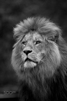 The king of the animals in munich. A lion in the zoo Hellabrunn. All rights by Münchner Tierpark Hellabrunn Lion Images, Lion Pictures, Lion Profile, Chat Lion, Lion Tigre, Lion Photography, Lion Head Tattoos, Lions Photos, Lion And Lioness