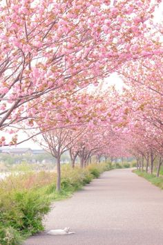The 30 Most Beautiful Places in the World - Cherry Blossom - Holiday Everyday Beautiful World, Beautiful Places, Beautiful Pictures, Pink Trees, Blossom Trees, Cherry Blossoms, Pink Blossom, Anime Scenery, Belle Photo