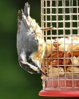 5 Tips to Attract Red-breasted Nuthatches to your Yard - The Zen Birdfeeder