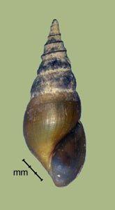 "Pleurocera semicarinata (Say 1829) Goniobasis or ""Elimia"" semicarinata"