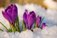 クロッカス Crocuses caught in the snow. Purple Flowers, Spring Flowers, Purple Swag, Daffodils, Tulips, Spring Sign, Blossom Flower, Plant Care, Planting Flowers