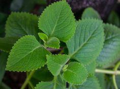 V zimnom období nás často trápi prechladnutie, ktoré sprevádza nepríjemná nádcha. Hoci sa dá proti nemu bojovať zdravou stravou a vitamínmi, existuje jedna rastlina, ktorá sa považuje za nenápadného pomocníka! Zatiaľ čo vy ju považujete za doplnok v interiéri, ona sa postará o mnoho viac. Plant Leaves, Plants, Plant, Planets