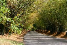 bamboo avenue in jamaica | bamboo avenue, a photo from Saint Elizabeth, Cornwall | TrekEarth