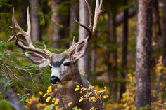 Trophy Mule Deer. Just wait until this hunting season cause he's going down!