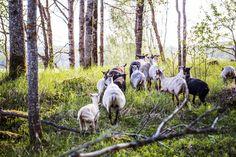 Katso vuoden 2017 kuumimmat matkatrendit! Kansa kaipaa aktiivilomille ja lammaspaimeneksi | Kodin Kuvalehti >  Nostalgiassa on nostetta Yksi kotimaan matkailun yllätyshiteistä ovat Metsähallituksen järjestämät lammaspaimenviikot. Paimenten askareisiin kuuluu muun muassa lampaiden laskemista, rapsuttelua ja hellimistä. Hakijoita on ollut satoja enemmän kuin on pystytty ottamaan. Tämän vuoden haku on käynnissä nyt (luontoon.fi).