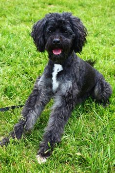 Pepper is an adoptable Poodle searching for a forever family near Boiling Springs,PA.