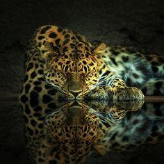 Leopard reflection